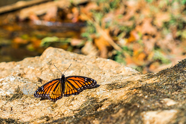 butterfly gardening tips