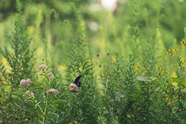 butterfly gardening nectar and food plants